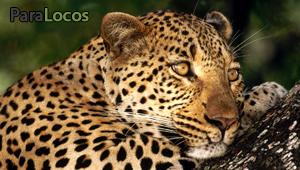 leopardfeatured.jpg
